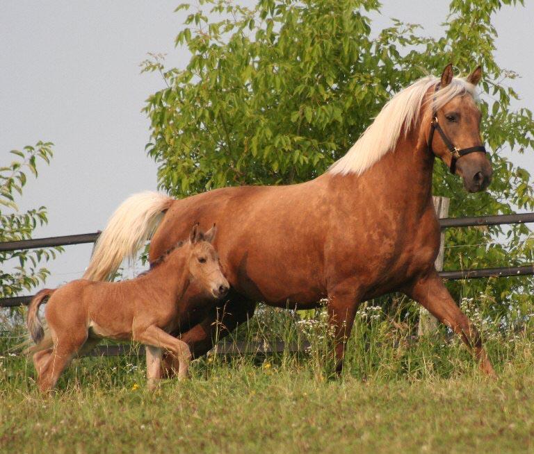 Tennessee Walking Horses - CLOUD 9 WALKERS (Tennessee Walking ...