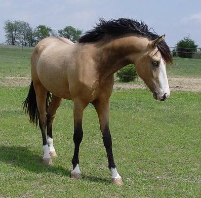 what makes a buckskin a true buckskin the horse forum