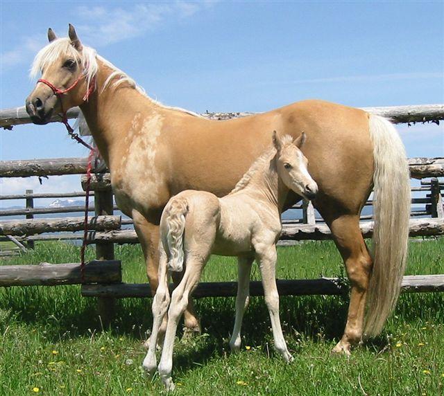 palomino horse color - photo #6